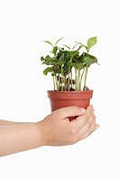 Human hands holding a potted plant