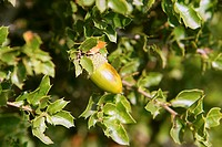 Acorn green fruits on the oak tree in the forest, wild life
