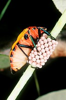 Female Cotton Harlequin Bug, Tectocoris diophthalmus, guarding her eggs  Also known as Hibiscus Harlequin Bug as they feed on many species of hibiscus...