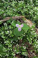 Trillium & Phacelia, Spring, Great Smoky Mtns Nat Park, TN, USA