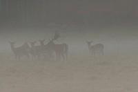 Fallow deers (Dama dama)