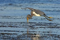 Louisiana Heron, Tricoloured Heron Egretta tricolor, flying and catching prey, USA, Florida, Everglades National Park