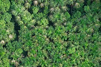 Aerial view of a coconut plantation in the rainforest, Guyana, South America