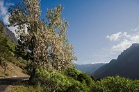 Almond tree with blossom near La Caldera, above the Barranco de las Angustias gorge, National Park, Parque Nacional Caldera de Taburiente, giant crate...