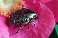 rose chafer Cetonia aurata, on a rose blossom