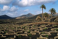 Viniculture, lava fields, Yaiza, Lanzarote, Canary Islands, Spain