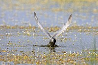 whiskered tern Chlidonias hybrida, catching a fish from shallow water while flying, Greece, Lesbos