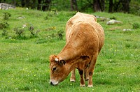 Grazing Aubrac cow, Aubrac breed