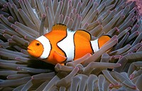 A clown anemonefish, Amphiprion percula, living in a giant sea anemone, Heteractis magnifica  Solomon Islands  Solomon Sea, Pacific Ocean