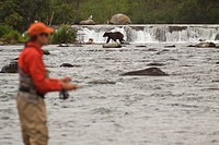 Fly fisherman and brown bears at Brooks Falls on Brooks River, Katmai National Park, Bristol Bay, Alaska, summer, composite