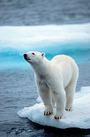 Polar bear Ursus maritimus on ice floe, Svalbard, Spitsbergen, Norway