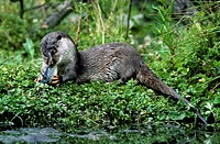 European river otter Lutra lutra eating fish in brook, Europe