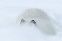 arctic fox, polar fox Alopex lagopus, Vulpes lagopus, in high snow, only ears and back visible, Norway, Namdal, Troendelag
