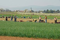 harvest of spring onions in Goennheim, Germany, Rhineland_Palatinate, Palatinate, German Wine Route
