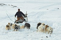 Greenland Dog Canis lupus f. familiaris, Inuit riding a dog sledge, swinging his whip, Greenland, Ostgroenland, Tunu, Kalaallit Nunaat, Scoresbysund, ...
