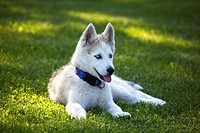 Siberian Husky puppy rests on a grassy area, Alaska, Summer