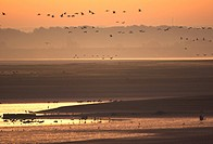 Mudflats in Lac du Der with European Cranes Grus Grus at sunrise, France