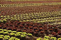 Red little baby lettuce in the fields from spain