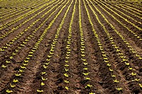 Little lettuce sprouts brown field, green vegetable outbreaks perspective