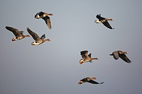 Flight of Greater White_fronted Goose Anser albifrons