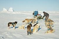 Greenland Dog Canis lupus f. familiaris, resting dog sled, Greenland, Ostgroenland, Tunu, Kalaallit Nunaat, Liverpool Land