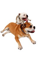 English bulldog Canis lupus f. familiaris, two dogs lying on floor and panting