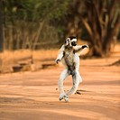 Dancing Verreaux´s Sifaka Propithecus verreauxi, Berenty nature reserve, Madagascar