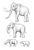 Elephant evolution, artwork. These four species are all part of the elephant evolutionary tree. They are: the Columbian mammoth top, Mammuthus columbi...