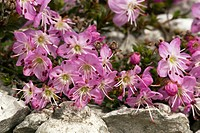Flowers of Dwarf Alpenrose Rhodothamnus chamaecistus. Photographed in Dolomites in Italy.