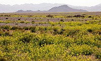 Mass of Brassicas flowering in the Sahara Desert in Morocco, after a very wet Winter.
