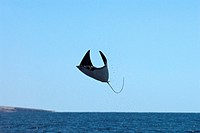 Mobula ray Mobula japonica leaping high out of the water. Rays, a type of fish, can travel in schools of over a hundred below the water´s surface. The...