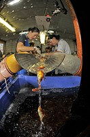 Carp fishery. Workers at a fishery vaccinating comet_tailed goldfish Carassius auratus auratus before returning them to the outdoor growing pools. Pho...