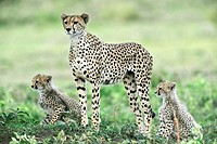 Cheetahs. Female cheetah Acinonyx jubatus with her two cubs. Cheetahs are the fastest land animals on Earth. They can reach a top speed of over 110 ki...