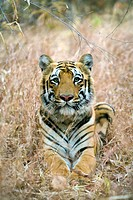 A male Bengal Tiger Panthera tigris tigris sitting down. Photographed in Tadoba, India.