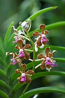 Flowers and foliage of the Orchid Vanda tessellata.
