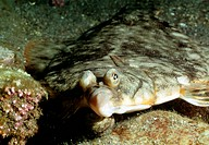 Left_eyed flounder. View of a left_eyed flounder family Bothidae on the sea bed. Flounders are about 35 cm long and weigh up to 1 kg. When born, the l...