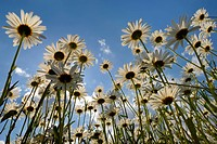 Meadow of Oxeye Daisies Leucanthemum vulgare from worm`s eye view