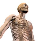 Skeleton with transparent skin