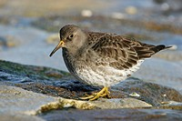 Purple Sandpiper Calidris maritima in winter plumage