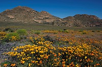 spring flowers in Goegap Nature Reserve, South Africa, Namaqualand