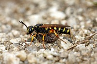 sand_tailed digger wasp Cerceris arenaria, with weevil as prey, Germany, Bavaria, Bavarian Forest National Park