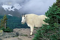 mountain goat Oreamnos americanus, standing on a ledge in the mountains, USA, Montana, Glacier National Park