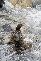 Torrent Duck Merganetta armata, female standing on a rock in Torres del Paine National Park, Patagonia, Chile, South America
