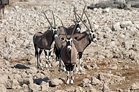 Gemsbok or Gemsbuck Oryx gazella in Etosha National Park, Namibia, Africa