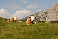 Cows on a pasture, Drei Zinnen area, Sexten (Sesto) Dolomites, Italy, Europe