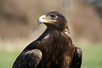 Steppe Eagle (Aquila nipalensis), Freisen zoo, Germany, Europe