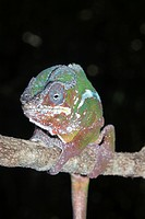 Male Panther Chameleon (Furcifer pardalis), Madagascar, Africa