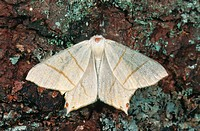 swallow_tailed moth Qurapteryx sambucaria, on bark with lichens, Germany