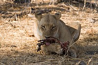 Female Lion (Panthera leo) feeding on prey, Moremi Wildlife Reserve, Botswana, Africa