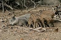 Wild Boar (Sus scrofa) piglets suckling at sow